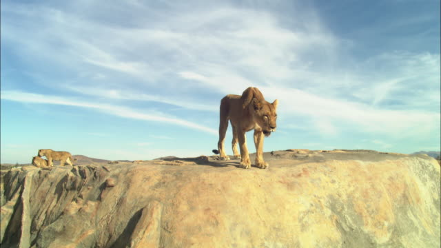 African lioness looks around rocky outcrop and jumps down towards camera leaving 2 cubs in background