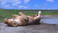 MS African lioness lying on her back by waterhole