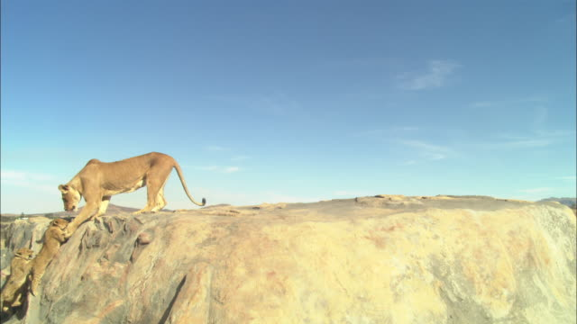 WS African lioness on rocky outcrop encourages 2 cubs to climb up and they walk across rock