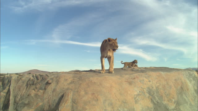 WS African lioness rocky outcrop looking over edge and walking around with 2 cubs in background then she climbs down by camera