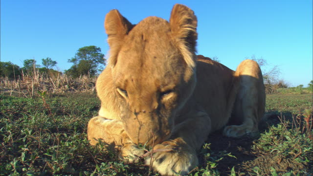 LA MS African lioness sitting very close to camera grooming forepaw