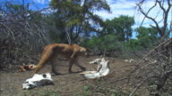 African lioness walks through bare ground with skulls and is joined by second lioness