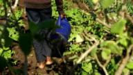 LS African male farmer watering plants, KwaZulu Natal, South Africa