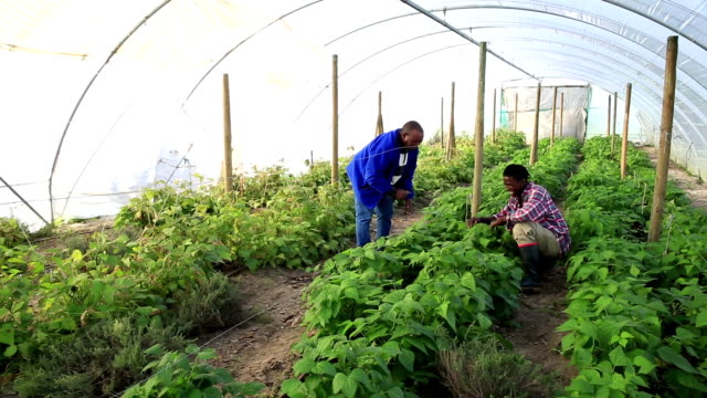 African mentor and his agriculture apprentice inspect crop