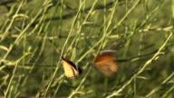 African Monarch (Danaus chrysippus), Israel