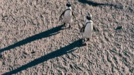 African penguin couple walking to the beach across the sand at Stony Point Preserve, South Africa