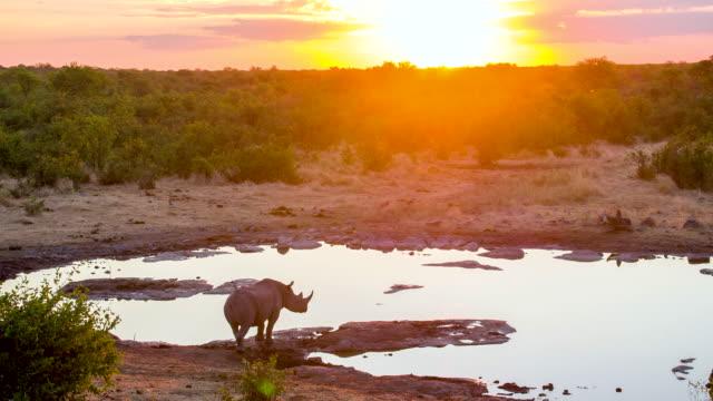 WS African Rhinoceros Drinking Water