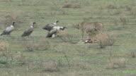 African Safari - Vultures Dive in on Cheetah Kill