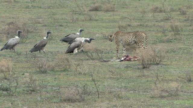 African Safari - Vultures Dive in on Cheetah Kill
