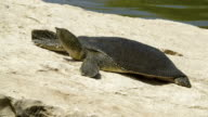African Softshell Turtle 1