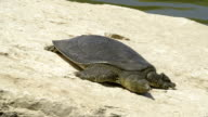 African Softshell Turtle 2