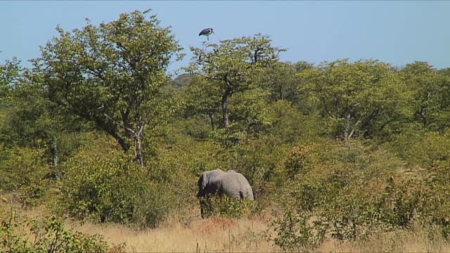 WS African Stork and elephant in savannah / Etosha National Park, Namibia