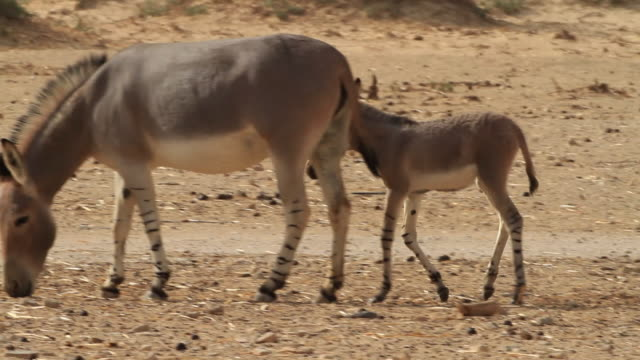 African wild ass (Equus africanus) female and young in the desert