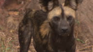 African Wild Dog (Lycaon pictus) barking; with audio, Kenya