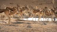 African Wildlife, Sprinbok