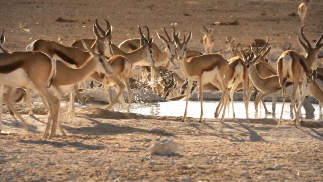 Afrikanische Wildtiere Sprinbok