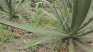 Agave Plants And Cactus In Garden