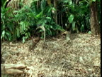 MS Agouti bounds through forest, South America