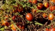 Agricultura rega farm tomates