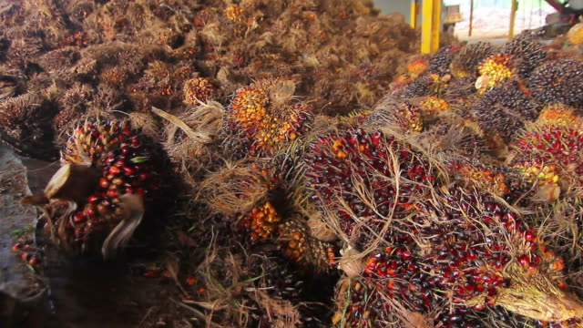 Agriculture of palm oil fruit in factory