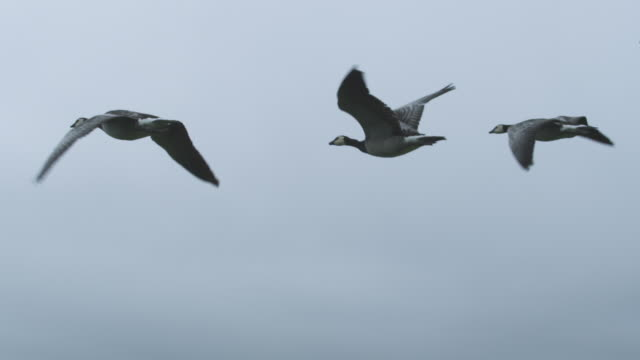 Air-to-air SLO MO MS behind 4 Barnacle Geese flying with sky in background