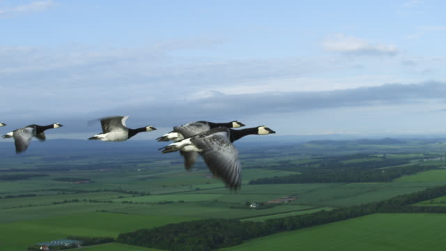 Air-to-air SLO MO flying alongside Barnacle Geese with farmland in background