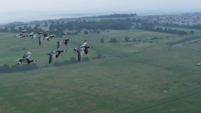Air-to-air SLO MO WS flying alongside group of Barnacle Geese with misty farmland in background