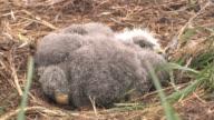 CU, USA, Alaska, Katmai National Park, American bald eagle chick (haliaeetus leucocephalus) lying in nest