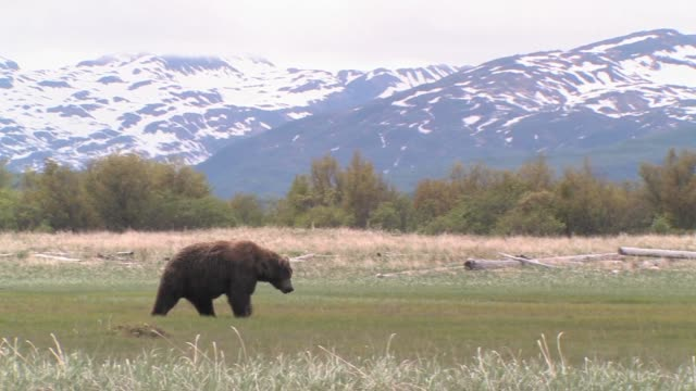MS, PAN, USA, Alaska, Katmai National Park, Brown bear (Ursus Arctos) walking on field, snow capped mountains in background