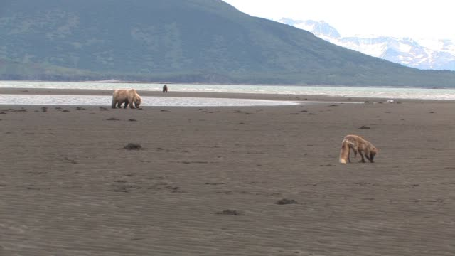 WS, USA, Alaska, Katmai National Park, Brown bears (Ursus Arctos) and Red fox (vulpes vulpes) digging for clams on beach, green hills in background