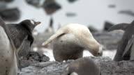 Albino Antarctic Penguin