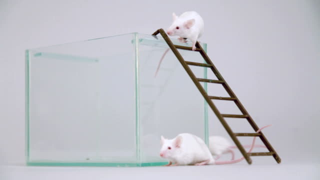 Albino mouse on ladder
