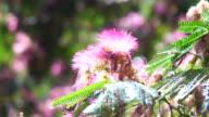 Albizzia julibrissin - Acacia Flowers in Spain