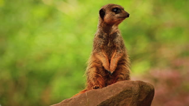 Alert Meerkat on Rock, Looking Around