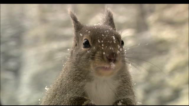 Alert squirrel nibbling on food in snow, Yatsugatake, Nagano, Japan