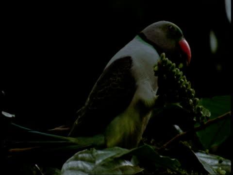 CU Alexandrine parakeet, Psittacula eupatria, eating fruit in tree, Western Ghats, India