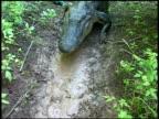 CU Alligator crawling across muddy ground, top view, Brazos Bend State Park, Texas, USA