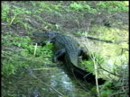 Alligator crawling around swamp then up bank, disappearing into grass, Brazos Bend State Park, Texas, USA