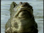 Alligator facing camera, bellows (mating call), water vibrates off his back, Florida Everglades