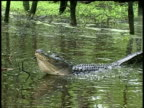 Alligator floating on water breathing heavily and vibrating water, Brazos Bend State Park, Texas, USA