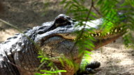 Alligator head detail in close range