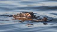 Alligator in a Lake