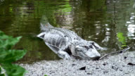 Alligator mississippiensis comes ashore