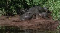 CU, alligator moving into swampy water, Everglades National Park, Florida, USA