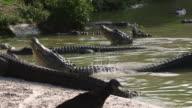 Alligator Raising Himself In Water