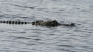 Alligator Swimming in a Lake