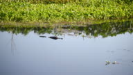 Alligator Swimming in the Water