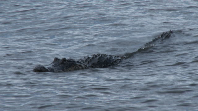 Alligator Swimming Near The Shoreline - Florida