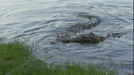Alligators chew the meat of a wildebeest in Florida.