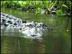 CU Alligators head as it swims through water, climbs out and rests on bank, Brazos Bend State Park, Texas, USA
